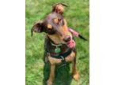 Adopt Happy a Brown/Chocolate Doberman Pinscher / Mixed dog in Chester Springs