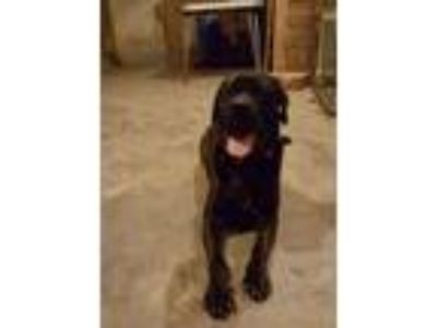 Adopt CHOPPER a Labrador Retriever