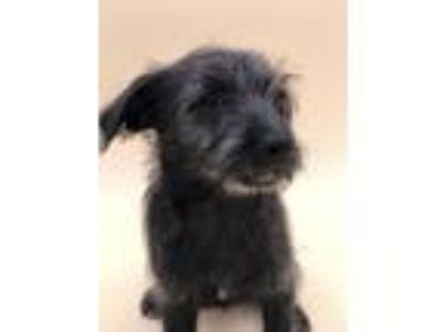Adopt Malia a Terrier (Unknown Type, Small) / Mixed dog in Thousand Oaks