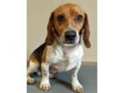 Adopt Sterling a Tricolor (Tan/Brown & Black & White) Beagle / Mixed dog in