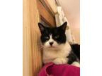 Adopt Celery a Domestic Short Hair