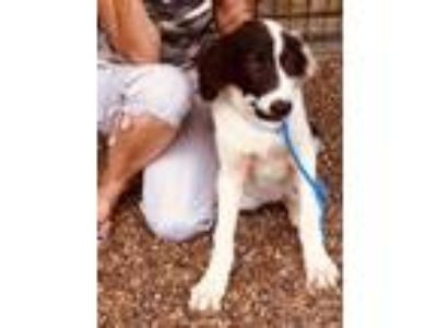 Adopt Bolt - gorgeous, smart & gentle a Border Collie
