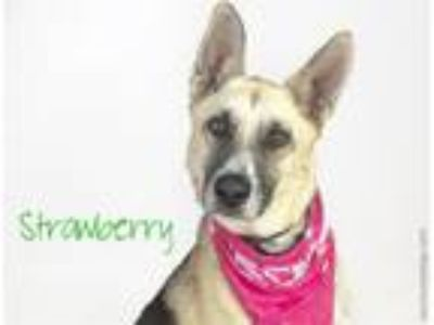 Adopt STRAWBERRY a German Shepherd Dog
