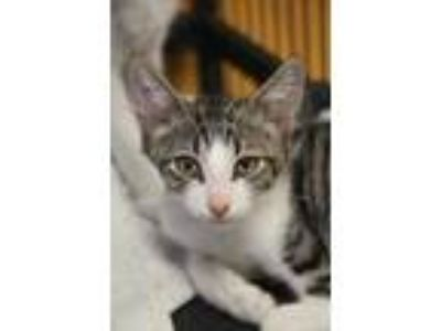 Adopt Squab a White Domestic Shorthair / Domestic Shorthair / Mixed cat in New