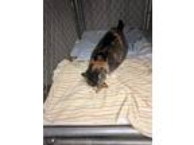 Adopt Missy a Calico or Dilute Calico Domestic Shorthair / Mixed cat in Rocky