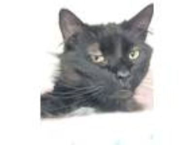 Adopt Dumbledore a Domestic Long Hair