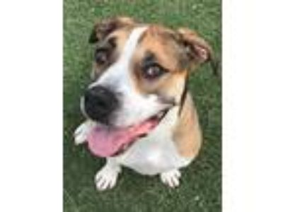 Adopt Roe a Tricolor (Tan/Brown & Black & White) Boxer / Foxhound / Mixed dog in