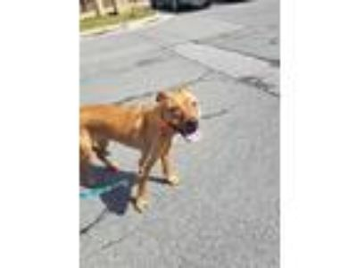 Adopt Rousey a Red/Golden/Orange/Chestnut Boxer / American Staffordshire Terrier