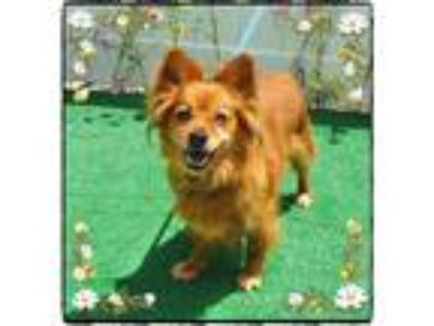 Adopt POOH a Red/Golden/Orange/Chestnut - with White Finnish Spitz / Mixed dog