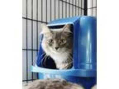 Adopt Ivy a Maine Coon