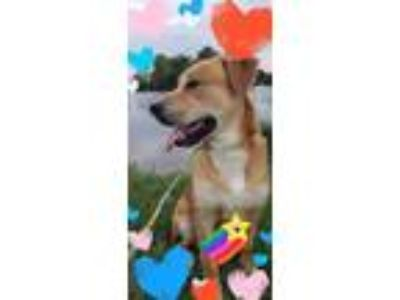 Adopt Jett a Tan/Yellow/Fawn Labrador Retriever / German Shepherd Dog / Mixed