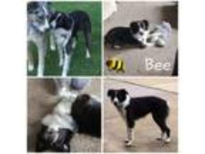 Adopt Bee a Border Collie