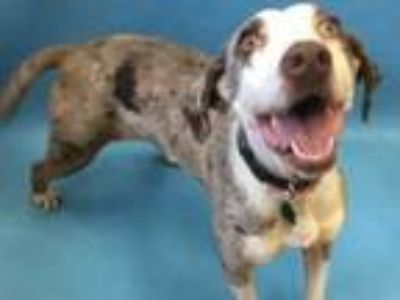 Adopt Sophie a Catahoula Leopard Dog, Mixed Breed
