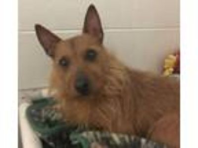 Adopt CHILI a Norfolk Terrier