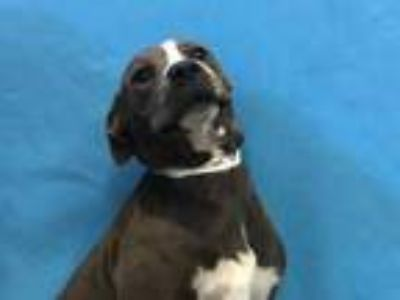 Adopt Precious a Brown/Chocolate Hound (Unknown Type) / Mixed dog in Golden