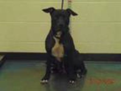 Adopt PRETZEL a Black - with White Mixed Breed (Medium) / Mixed dog in Memphis