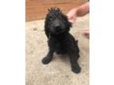 Adopt Mark a Black Labradoodle dog in Manhattan, NY (25654917)