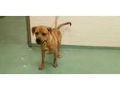 Adopt MIKE a Brown/Chocolate Mixed Breed (Medium) / Mixed dog in Memphis