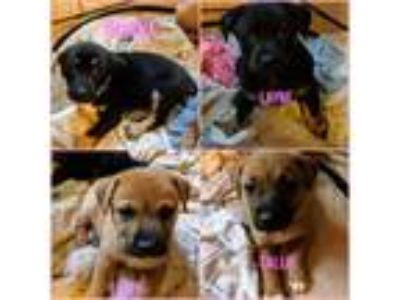Adopt Female puppies a Miniature Pinscher, Rat Terrier