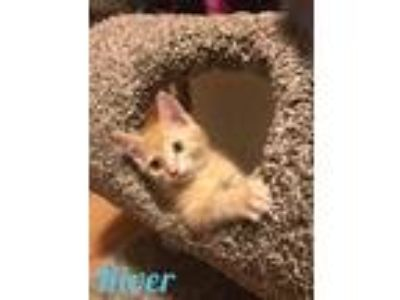 Adopt River a Orange or Red Tabby Domestic Shorthair (short coat) cat in