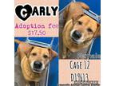 Adopt Cage 12 - Carly a Tan/Yellow/Fawn Akita / Labrador Retriever / Mixed dog