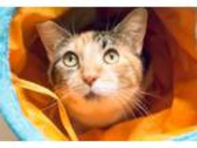Adopt Cammi a Calico, Domestic Short Hair