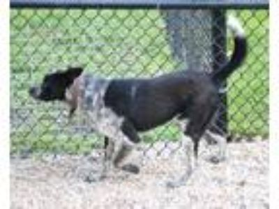 Adopt Rebel a Black - with Gray or Silver Australian Cattle Dog / Mixed dog in