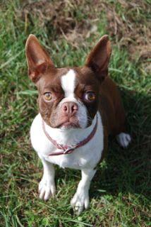 Boston Terrier PUPPY FOR SALE ADN-49938 - akc female 2 year old