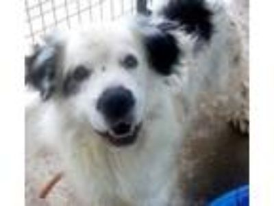Adopt Rufus a White Great Pyrenees / Border Collie / Mixed dog in Bowling Green