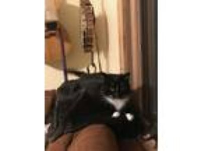 Adopt Greta a Black & White or Tuxedo Domestic Mediumhair cat in Fairview