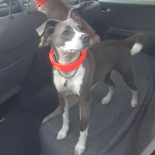 Chihuahua-American Pit Bull Terrier Mix DOG FOR ADOPTION ADN-88618 - Active Family Dog