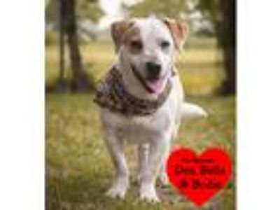Adopt Meghan a White - with Tan, Yellow or Fawn Beagle / Mixed dog in San Leon