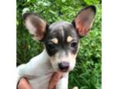 Adopt Star#4F a White - with Gray or Silver Rat Terrier / Mixed dog in Orlando