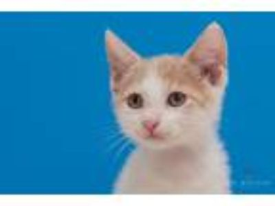Adopt Luau a Domestic Shorthair / Mixed (short coat) cat in Madison