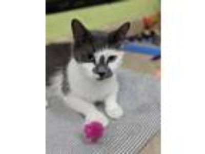 Adopt Pearl a Domestic Medium Hair