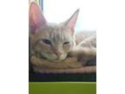 Adopt Obadiah a Orange or Red Domestic Shorthair / Domestic Shorthair / Mixed