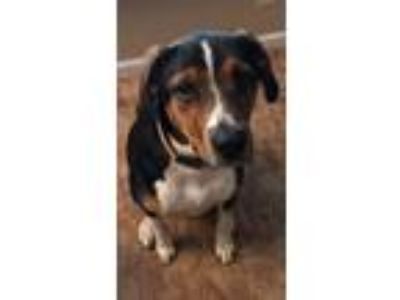 Adopt Duke a Tricolor (Tan/Brown & Black & White) Hound (Unknown Type) / Mixed