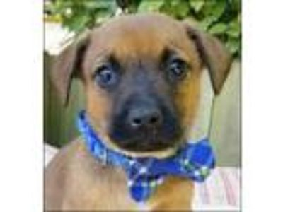 Adopt Anthony Puppy - Available June 2nd a Shepherd, Mixed Breed