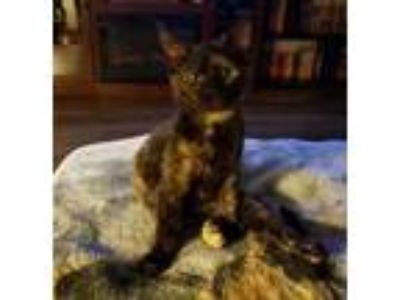 Adopt Prissy a All Black Domestic Shorthair / Domestic Shorthair / Mixed cat in