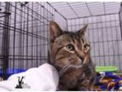 Adopt Casey a Brown Tabby Domestic Shorthair (short coat) cat in Flushing