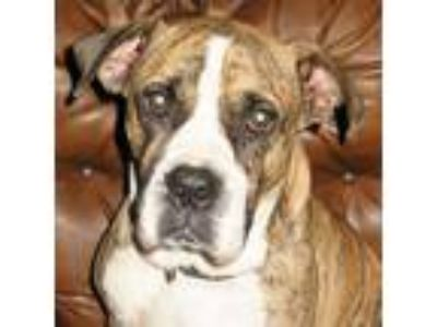Adopt Frank a Brindle - with White Boxer / Mixed dog in Killian, LA (18977163)