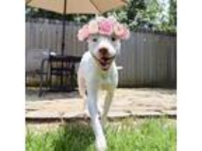 Adopt Ella the beauty a American Staffordshire Terrier, Pit Bull Terrier
