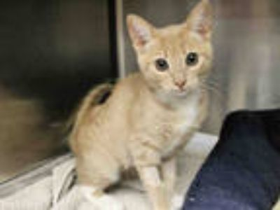 Adopt SUNFLOWER a Cream or Ivory (Mostly) Domestic Shorthair / Mixed (short