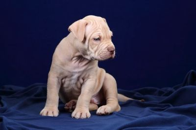 American Pit Bull Terrier PUPPY FOR SALE ADN-66635 - American Pit Bull Puppies