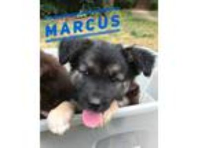 Adopt Marcus a Black - with Tan, Yellow or Fawn Border Collie / Husky / Mixed
