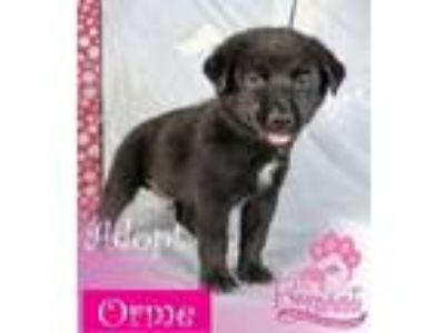 Adopt Orme a Border Collie, Labrador Retriever