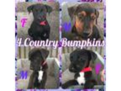 Adopt The Country Bumpkins a Labrador Retriever