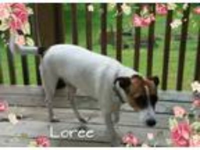 Adopt Loree/CP a White - with Tan, Yellow or Fawn Jack Russell Terrier /