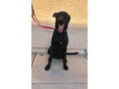 Adopt Leia a Black German Shepherd Dog / Scottish Deerhound / Mixed dog in