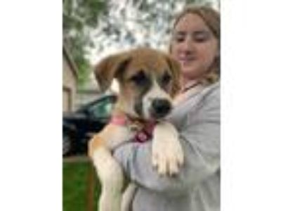 Adopt Cher a Great Pyrenees, Anatolian Shepherd